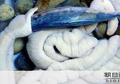 展示されずに20年超 腸みたいな生物、全国大会で勝負:朝日新聞デジタル