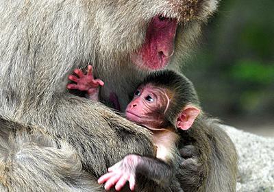 今年初の赤ちゃんザルは「ピコ」 大分、PPAPから:朝日新聞デジタル