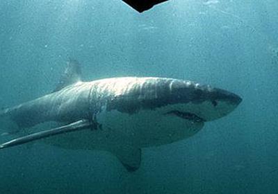 シャチたちがジョーズの攻略法を学習した?避けてたはずのホホジロザメの肝臓狩りがブームに - Togetter