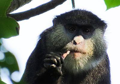 サルがコウモリを捕食することが明らかになった、エボラの新たな感染ルートか | バイオの杜