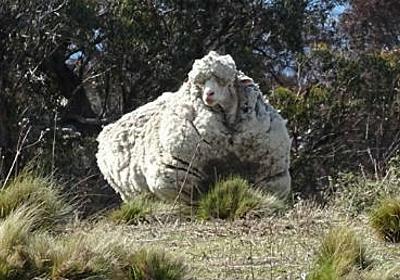 すっきりした! オーストラリアで保護されたもこもこすぎる羊の毛刈り完了 - ねとらぼ