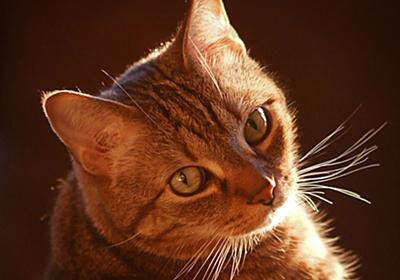 猫の代名詞のトラネコ 特徴的な縞模様はどうやってできる? | ナショナルジオグラフィック日本版サイト