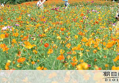 キバナコスモス、浜離宮恩賜庭園で見頃 15万本華やか:朝日新聞デジタル
