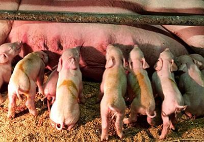 金足農業がベスト4に進出した瞬間、秋田県関連アカウントが壊れ、さらに金足農業の豚舎で子豚が9匹も生まれる #金足農業 #甲子園 - Togetter
