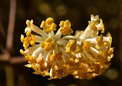 【花】英彦山のミツマタ|カメラとおでかけ