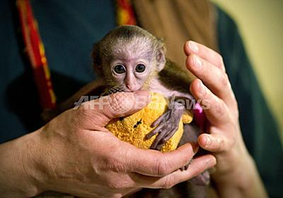 プーさんと遊ぶモナモンキーの赤ちゃん、ドイツ 写真4枚 国際ニュース:AFPBB News