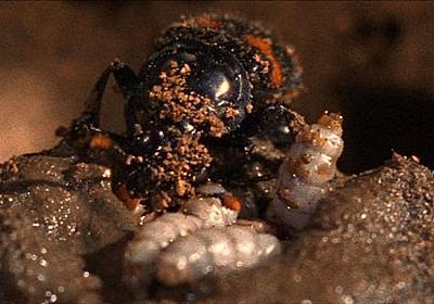 【動画】死骸に産卵するシデムシ、驚異の子育て術 | ナショナルジオグラフィック日本版サイト