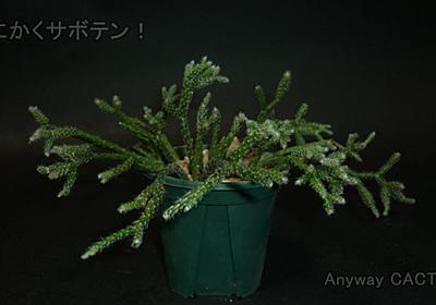 【リプサリス属 ピロカルパ】 窓辺でオシャレに育てられる森林性サボテン【ウチのサボ】 - とにかくサボテン!