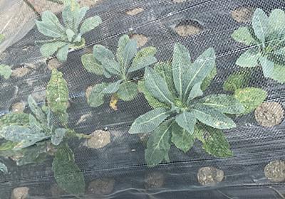 珍しい野菜 カーボロネロ(黒キャベツ)を菜園で栽培しています。 - farm andante 美味しい野菜とふれあい菜園