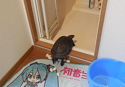 また今年もカメが風呂場で産卵したようです →そして食べた!? - Togetter