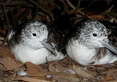 浮気する一夫一妻の海鳥 | 東京大学