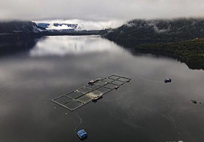 チリでサケ大量死、4200トン被害 有害藻類の増殖で 写真5枚 国際ニュース:AFPBB News