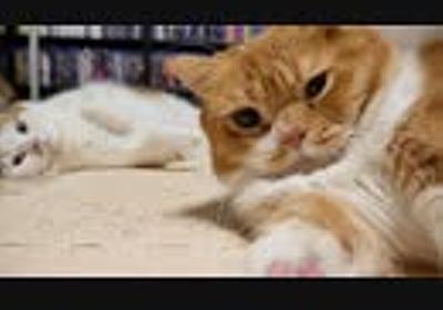 【マンチカンズ】喧嘩するほど仲が良い猫一家