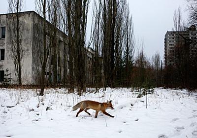 チェルノブイリの原発事故が「動物の楽園」を生み出した? 異なる調査結果から浮き彫りになったこと|WIRED.jp