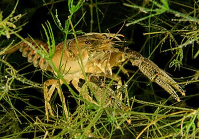 Antidepressants leaking into waterways could make crayfish bolder | New Scientist