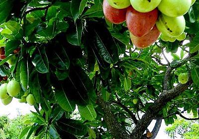見た目は甘そうですが…猛毒です! 沖縄旅行、こんな果実にご注意を | 沖縄タイムス+プラス ニュース | 沖縄タイムス+プラス