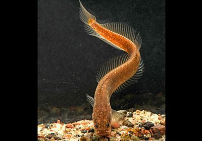 地下にすむ奇妙な魚、新種どころか新しい科だった、インド | ナショナルジオグラフィック日本版サイト