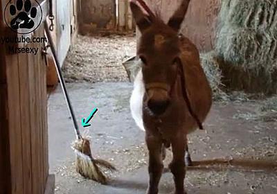 お利口すぎる…ホウキを使って掃除してくれるロバ(動画):らばQ