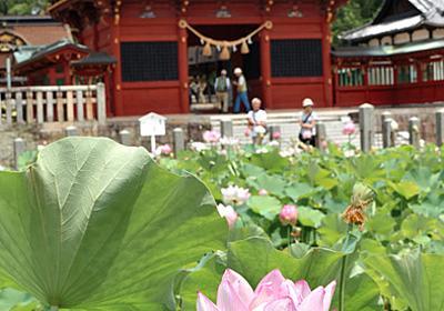 愛知)徳川家ゆかりの伊賀八幡宮でハスの花見頃 岡崎:朝日新聞デジタル