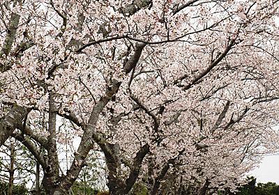 満開の桜&春の草花たち - miyotyaのブログ