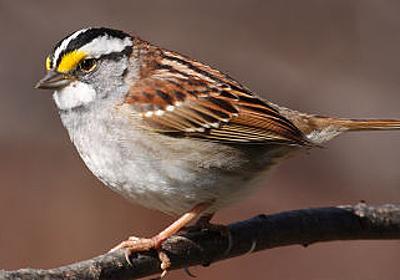 4つの性別を持つ鳥「ノドジロシトド」 - GIGAZINE