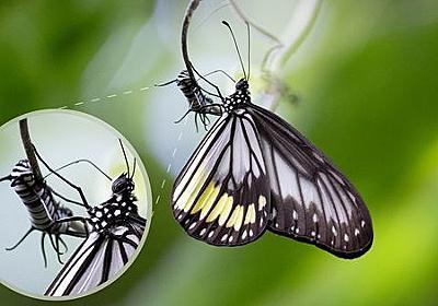 「同種の幼虫の体液を生きたまま吸う」チョウが確認される、メスを引きつけるフェロモンを作るための栄養補給か - GIGAZINE