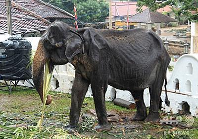 70歳の痩せこけたゾウ死ぬ、パレードに強制出演 スリランカ 写真1枚 国際ニュース:AFPBB News
