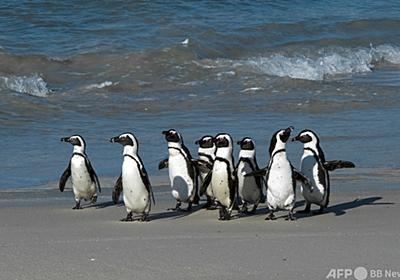 絶滅危機ペンギン、ハチに刺され大量死 南ア 写真4枚 国際ニュース:AFPBB News