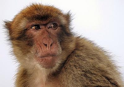サルの脳にヒトの遺伝子を移植し認知機能を進化させる実験が行われる(中国研究) : カラパイア