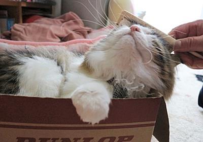 ブラッシング嫌いの猫、ブラッシングを克服する。   ヒメとまいにち