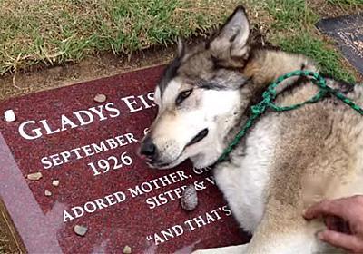 犬も本当に悲しいときには声を詰まらせて泣く。亡くなったおばあさんのお墓に寄り添い嗚咽をあげるウルフドッグ(アメリカ) : カラパイア