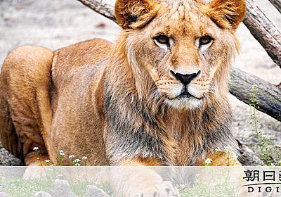 余るライオン「猫より安い」 動物交換、その実態は:朝日新聞デジタル
