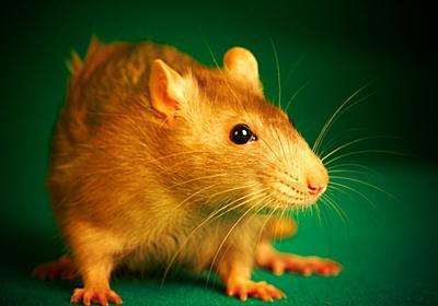 腸内細菌を持たないマウスが「ボッチ」になる理由が明らかに - ナゾロジー