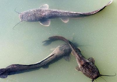 CNN.co.jp : 古代ユダヤ人、戒律違反の魚を食べていた 魚の骨の遺物で明らかに