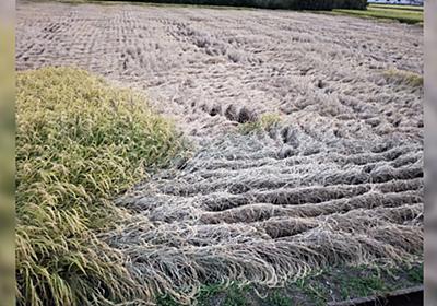 「これが農家の現実です。農薬無しでは90000%全滅します。」今年度深刻なウンカ被害、灰色に枯れ切った田んぼが壮絶 - Togetter