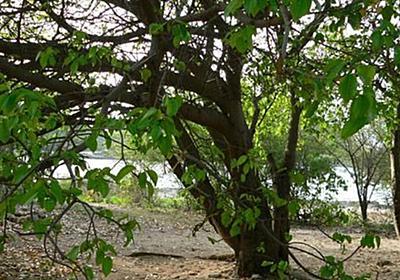 """""""死の小林檎"""" と呼ばれる世界一おっかない樹がこちら「樹全体が猛毒」「美味しそうなんだけどな…」 - Togetter"""