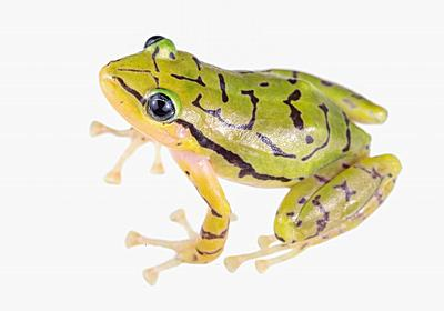 新種のカエルを発見、オタマジャクシにならず | ナショナルジオグラフィック日本版サイト
