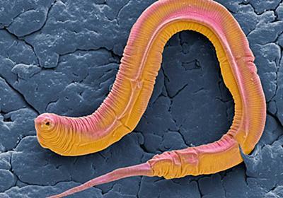 ミミズのような線虫も音を聞く、驚きの仕組みが判明、定説覆す