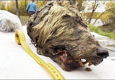 死後4万年が経過した更新世の巨大オオカミの完全な頭部がシベリアで発見される(ロシア) : カラパイア
