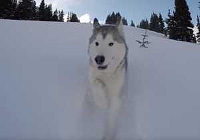 雪を巻き上げ爆走!!雪山を走り回って遊ぶハスキー犬の大冒険が楽しそう!! | コモンポストムービー