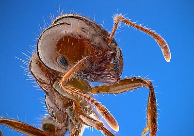 『ヒアリの生物学』でヒアリの生態を知る - クマムシ博士のむしブロ