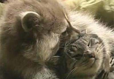 猫かわいがりにもほどがある、アライグマが猫をいじくりたおす映像 : カラパイア