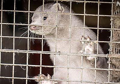 変異した新型コロナ見つかる 家畜ミンク 殺処分へ デンマーク | 新型コロナウイルス | NHKニュース
