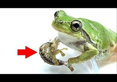 寄生虫がカエルに襲いかかる決定的瞬間