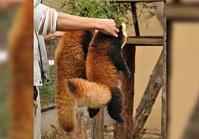 レッサーパンダの親が子どもを運ぶ時の様子を再現した飼育員さんの持ち方とされるがままの子レッサー「爪と牙がとても鋭いので」 - Togetter