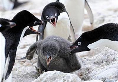 ドキュメント南極観測43 アデリーペンギンその5 - 読んで見フォト - 産経フォト