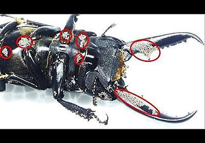 クワガタに付いた大量の寄生虫を駆除したった removing many mites on a stag beetle
