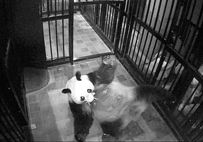 上野動物園のパンダ、シンシンが出産 5年ぶり:朝日新聞デジタル