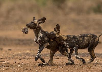 ヒヒを狩り始めたリカオン、衝撃の光景と苦闘 写真12点   ナショナルジオグラフィック日本版サイト