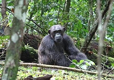 CNN.co.jp : 野生のチンパンジーがゴリラを襲って殺す行動、初めて目撃 ドイツ研究チーム - (1/2)